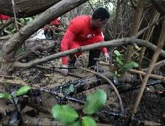 Mudança de regras de criação de camarão pode afetar manguezais