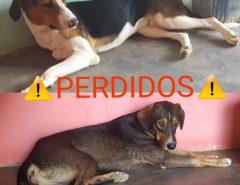 Macaíba: Cachorros desaparecidos