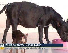 Isso é Incrível: Pinscher é 'suspeito' de engravidar cadela pitbull em Palmas