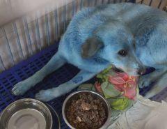 Cães azuis são resgatados em uma das cidades mais poluídas do mundo
